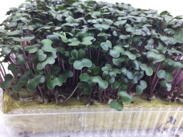 Микрозелень (микрогрин) капуста красная