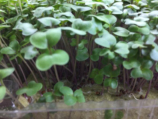 Микрозелень (микрогрин) кольраби