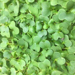 Микрозелень (микрогрин) капуста пак чой