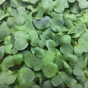 Микрозелень (микрогрин) редис зеленый