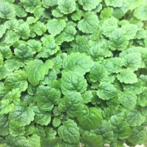 Микрозелень (микрогрин) мелисса