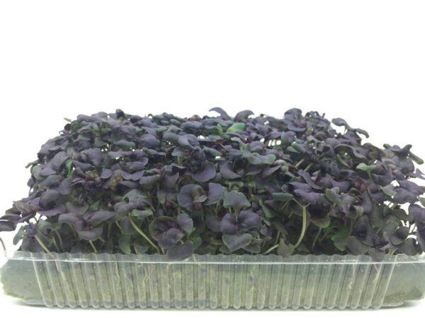 Микрозелень (микрогрин) базилик фиолетовый
