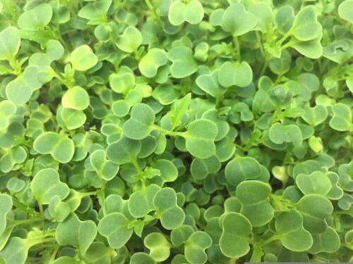 Микрозелень (микрогрин) мизуна зеленая