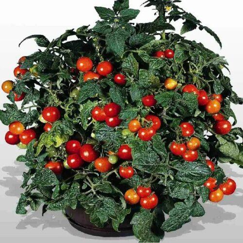 Микрозелень (Микрогрин) СПБ томаты