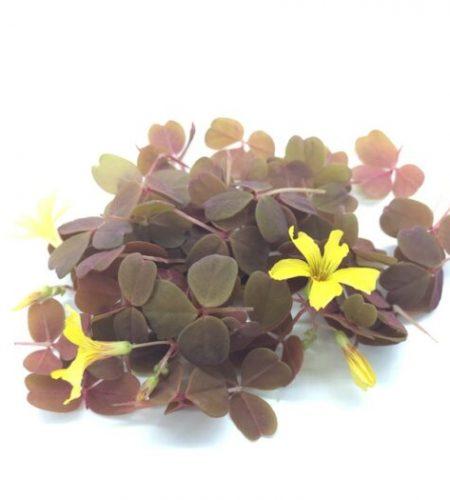 Микрозелень (микрогрин) кислица желтая