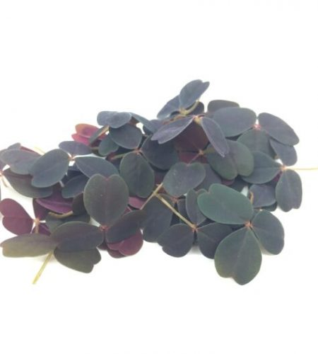 Микрозелень (микрогрин) кислица фиолетовая